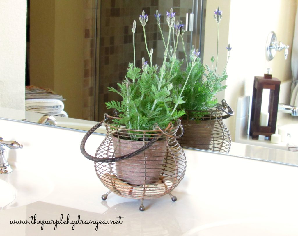 English lavender in wire basket.